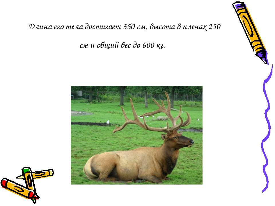 Длина его тела достигает 350 см, высота в плечах 250 см и общий вес до 600 кг.