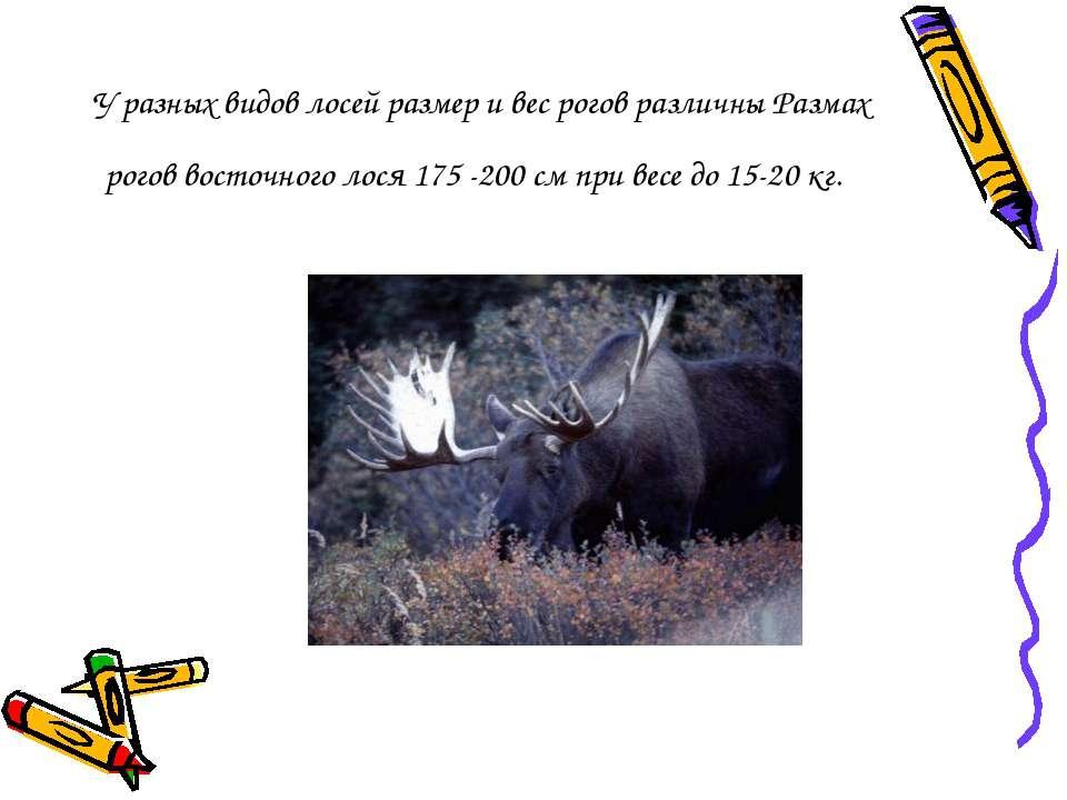 У разных видов лосей размер и вес рогов различны Размах рогов восточного лося...
