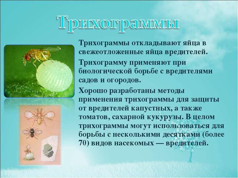 Трихограммы откладывают яйца в свежеотложенные яйца вредителей. Трихограмму п...