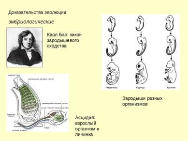 Доказательства эволюции: эмбриологические Карл Бэр: закон зародышевого сходст...