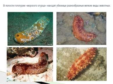 В полостиголотурии«морского огурца» находят убежище разнообразные мелкие ви...