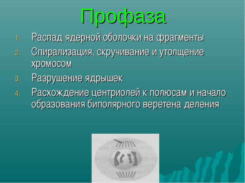 Профаза Распад ядерной оболочки на фрагменты Спирализация, скручивание и утол...