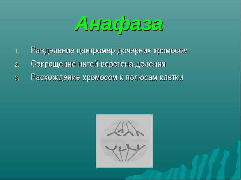 Анафаза Разделение центромер дочерних хромосом Сокращение нитей веретена деле...