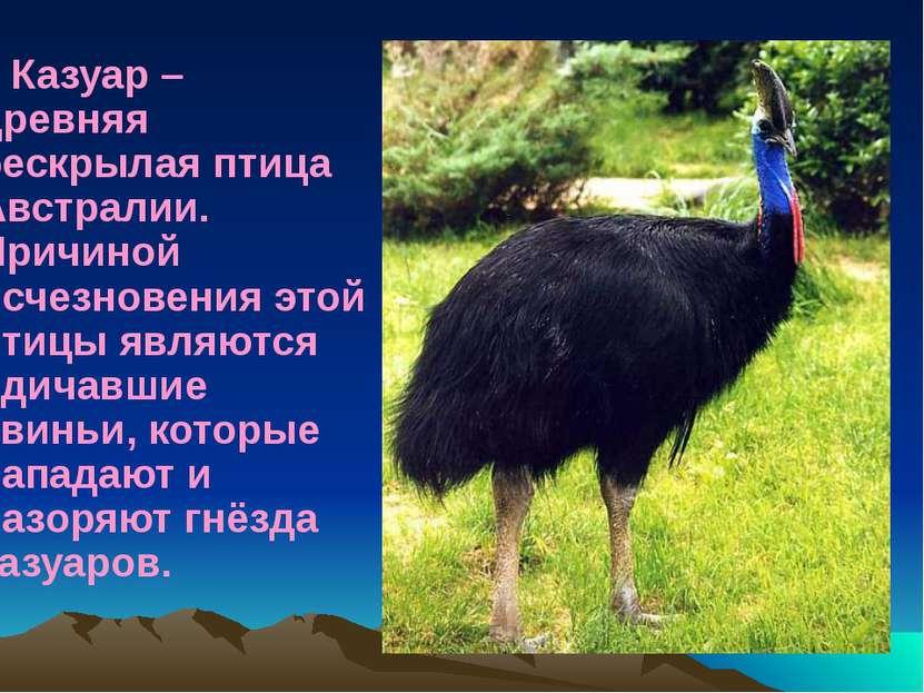 Казуар – древняя бескрылая птица Австралии. Причиной исчезновения этой птицы ...
