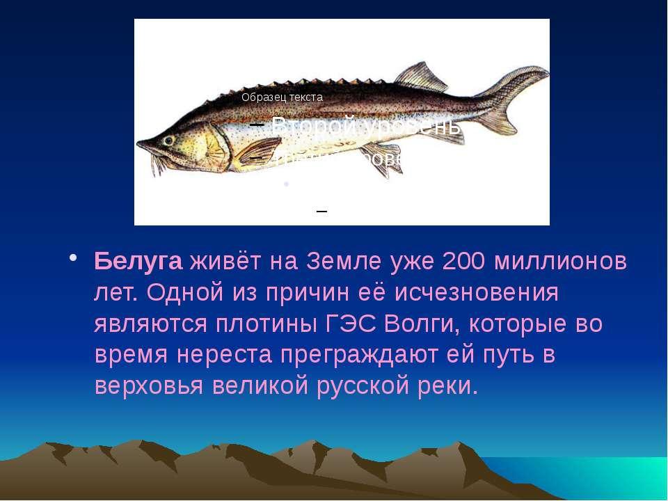 Белуга живёт на Земле уже 200 миллионов лет. Одной из причин её исчезновения ...