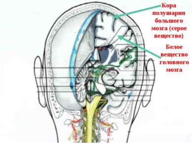 Кора полушария большого мозга (серое вещество) Белое вещество головного мозга