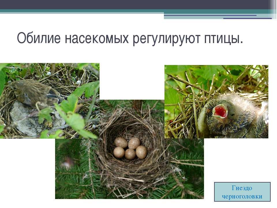 Обилие насекомых регулируют птицы. Гнездо черноголовки