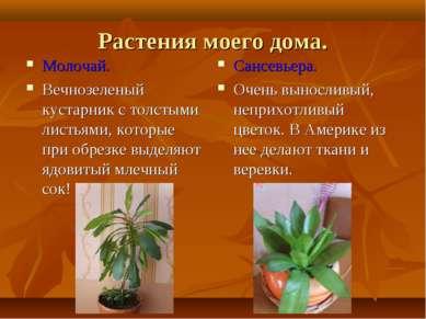 Растения моего дома. Молочай. Вечнозеленый кустарник с толстыми листьями, кот...