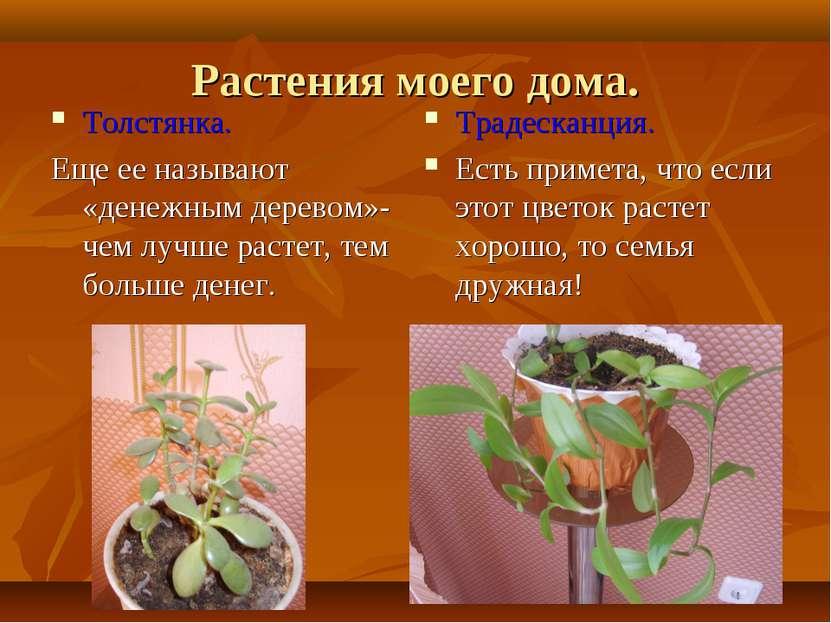 Растения моего дома. Толстянка. Еще ее называют «денежным деревом»- чем лучше...