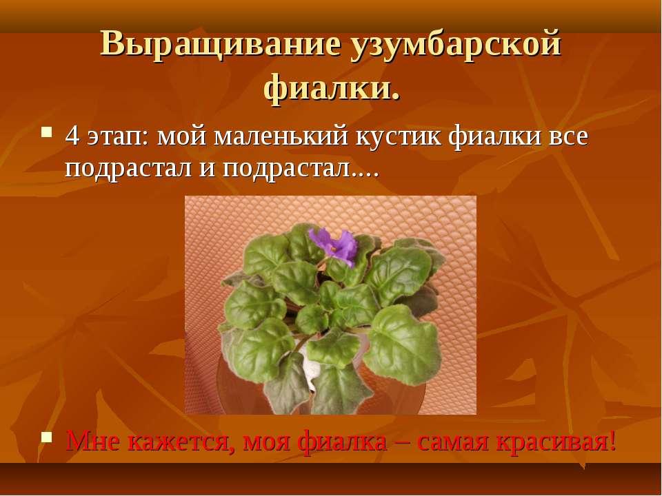 Выращивание узумбарской фиалки. 4 этап: мой маленький кустик фиалки все подра...