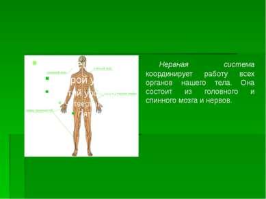 Нервная система координирует работу всех органов нашего тела. Она состоит из ...