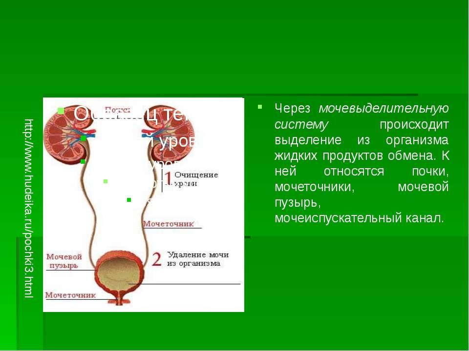 Через мочевыделительную систему происходит выделение из организма жидких прод...