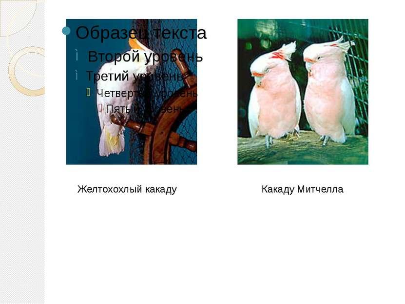 Какаду Митчелла Желтохохлый какаду