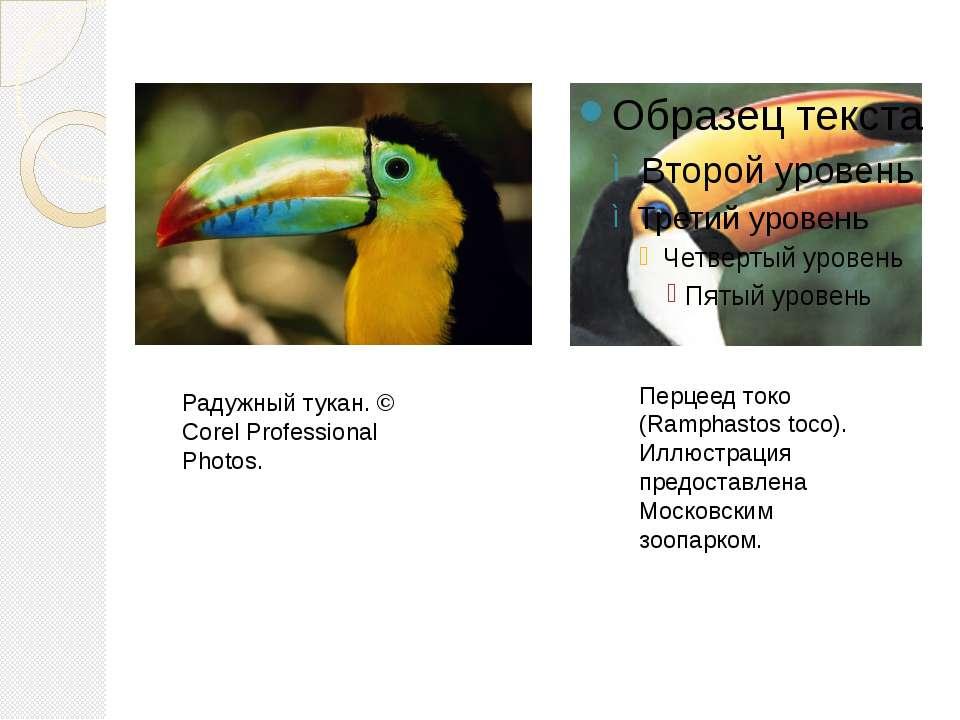 Перцеед токо (Ramphastos toco). Иллюстрация предоставлена Московским зоопарко...