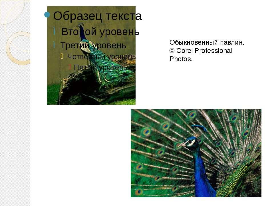 Обыкновенный павлин. © Corel Professional Photos.
