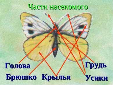 Голова Крылья Грудь Усики Брюшко Части насекомого