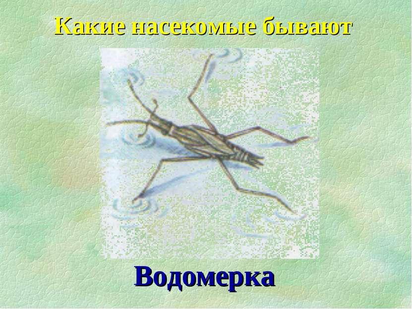 Какие насекомые бывают Водомерка