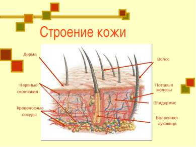 Строение кожи Дерма Волос Волосяная луковица Нервные окончания Кровеносные со...
