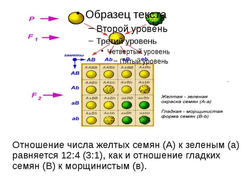 Отношение числа желтых семян (А) к зеленым (а) равняется 12:4 (3:1), как и от...