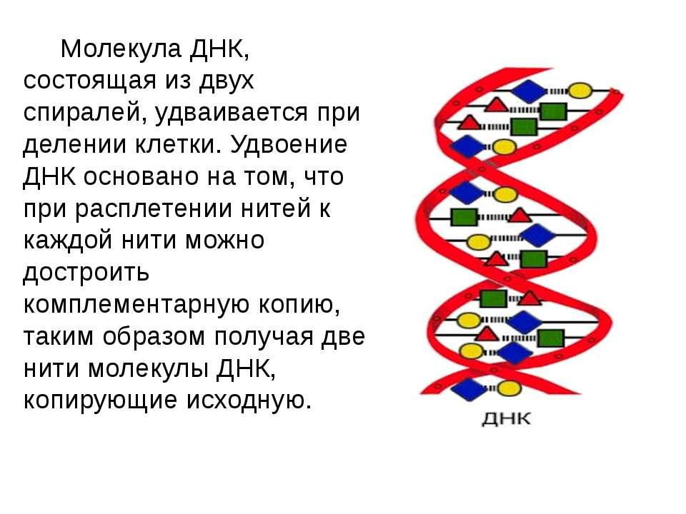 Молекула ДНК, состоящая из двух спиралей, удваивается при делении клетки. Удв...