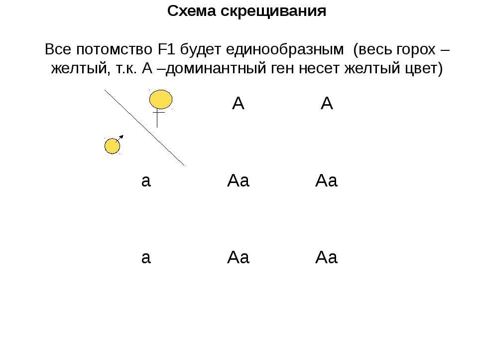 Схема скрещивания Все потомство F1 будет единообразным (весь горох – желтый, ...