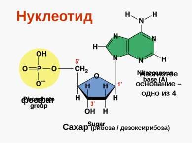 Нуклеотид фосфат Сахар (рибоза / дезоксирибоза) Азотистое основание – одно из...
