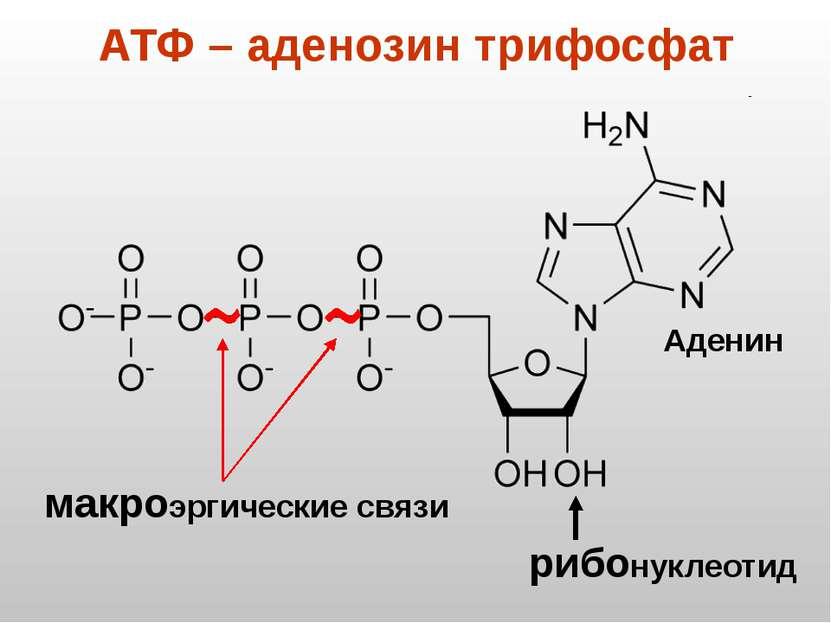 АТФ – аденозин трифосфат рибонуклеотид макроэргические связи Аденин