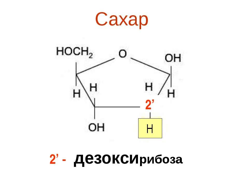 Сахар дезоксирибоза 2' H 2' -