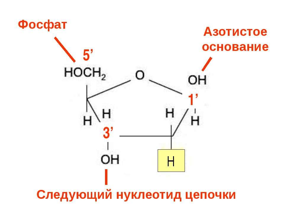 3' H 1' 5' 3' Азотистое основание Фосфат Следующий нуклеотид цепочки