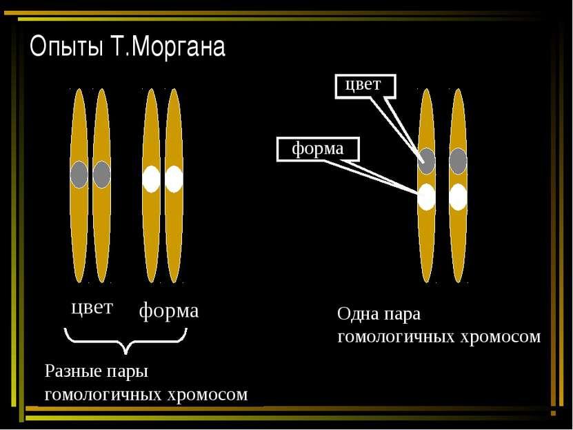 Опыты Т.Моргана цвет форма Разные пары гомологичных хромосом Одна пара гомоло...