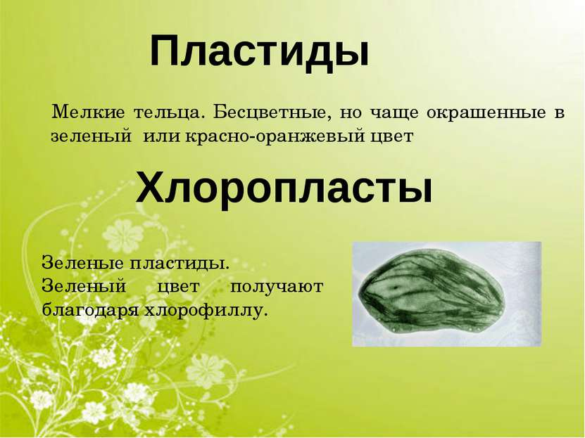 Хлоропласты Пластиды Мелкие тельца. Бесцветные, но чаще окрашенные в зеленый ...