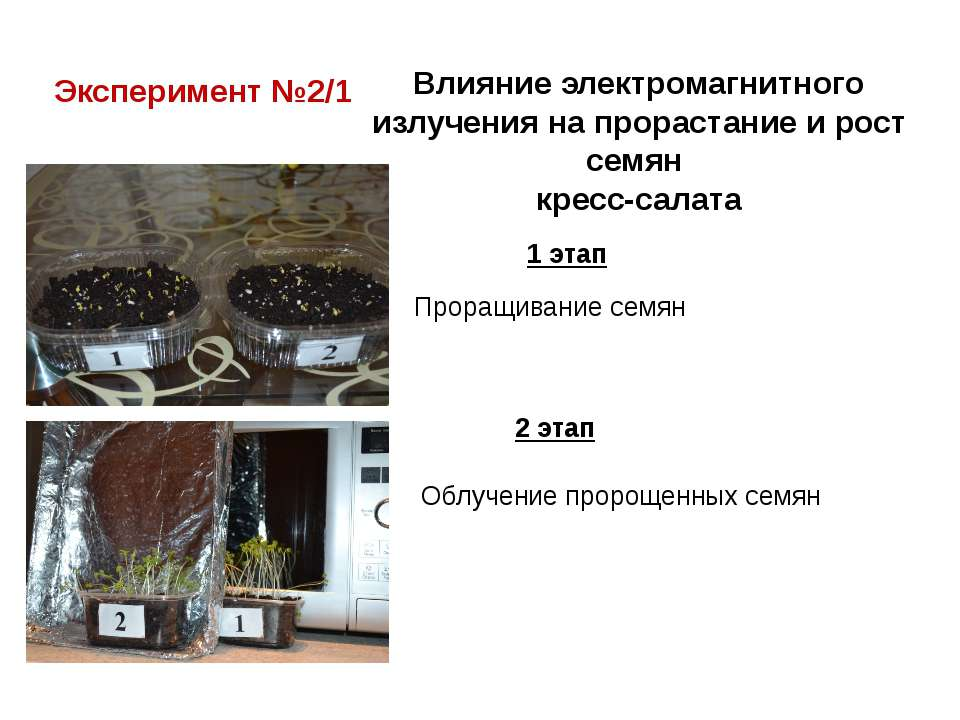 Эксперимент №2/1 Влияние электромагнитного излучения на прорастание и рост се...
