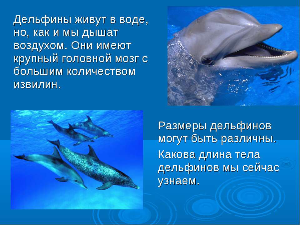 Размеры дельфинов могут быть различны. Какова длина тела дельфинов мы сейчас ...