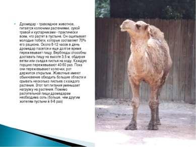 Дромедар - травоядное животное, питается колючими растениями, сухой травой ...