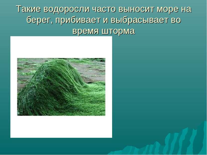 Такие водоросли часто выносит море на берег, прибивает и выбрасывает во время...