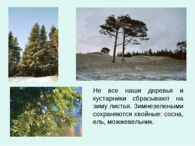 Не все наши деревья и кустарники сбрасывают на зиму листья. Зимнезелеными сох...
