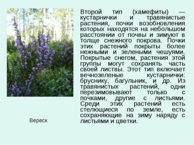 Второй тип (хамефиты) —кустарнички и травянистые растения, почки возобновлени...