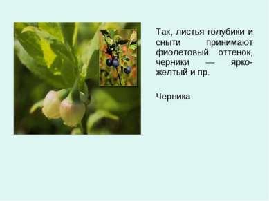Так, листья голубики и сныти принимают фиолетовый оттенок, черники — ярко-жел...