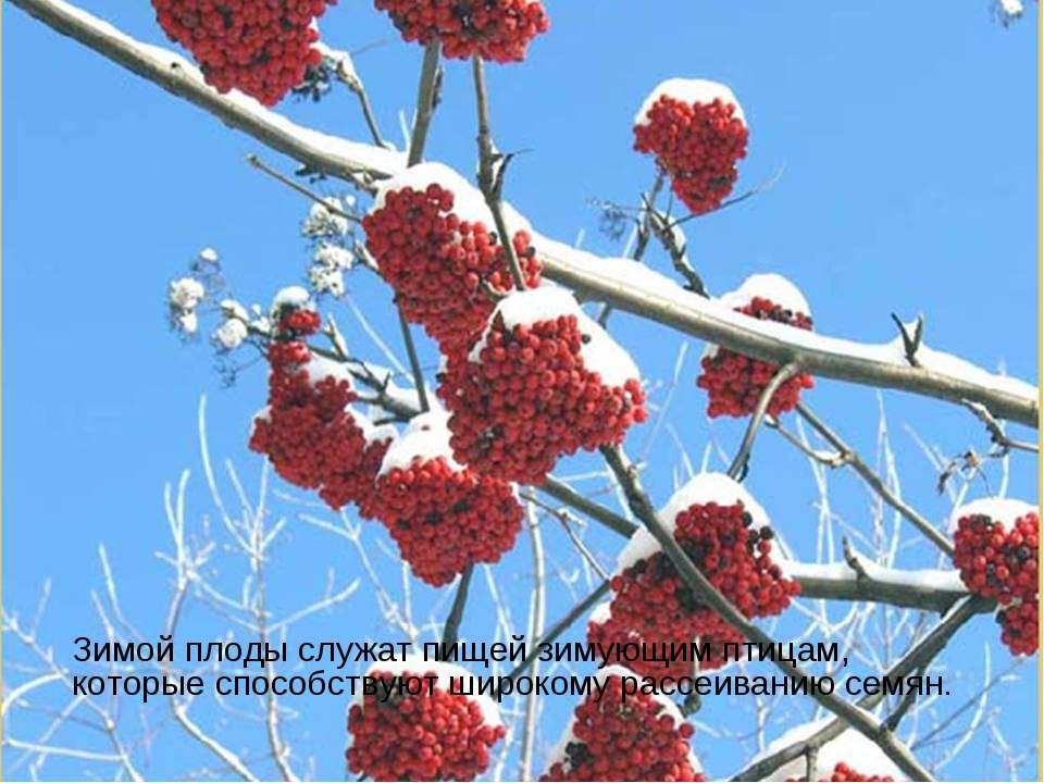 Зимой плоды служат пищей зимующим птицам, которые способствуют широкому рассе...