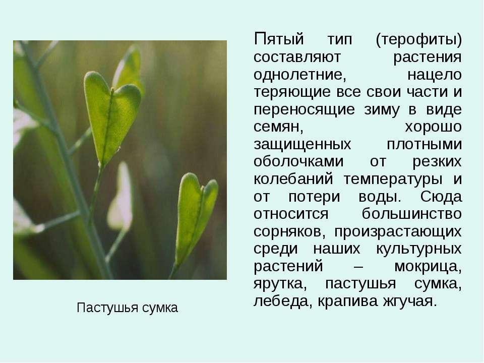 Пастушья сумка Пятый тип (терофиты) составляют растения однолетние, нацело те...