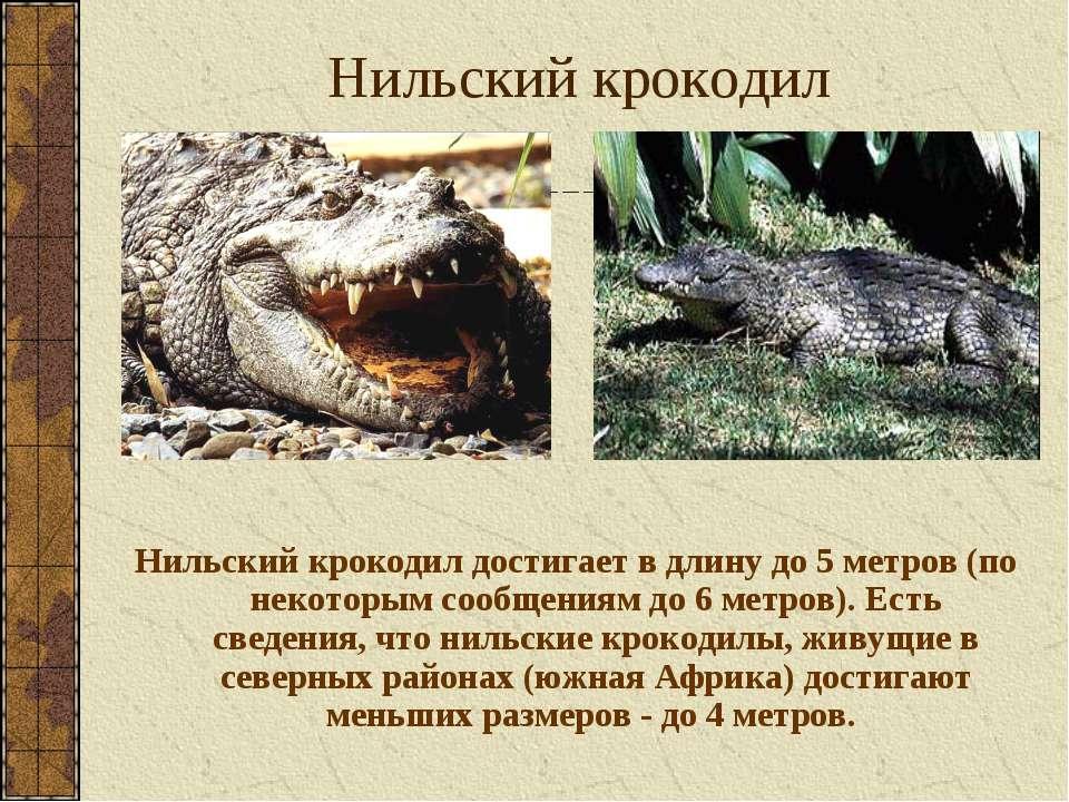 Нильский крокодил Нильский крокодил достигает в длину до 5 метров (по некотор...