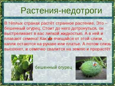 * * Растения-недотроги В тёплых странах растёт странное растение. Это – бешен...