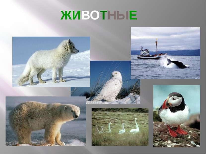 ЖИВОТНЫЕ В Исландии гнездится около 100 видов птиц.На слайде – белый медведь,...
