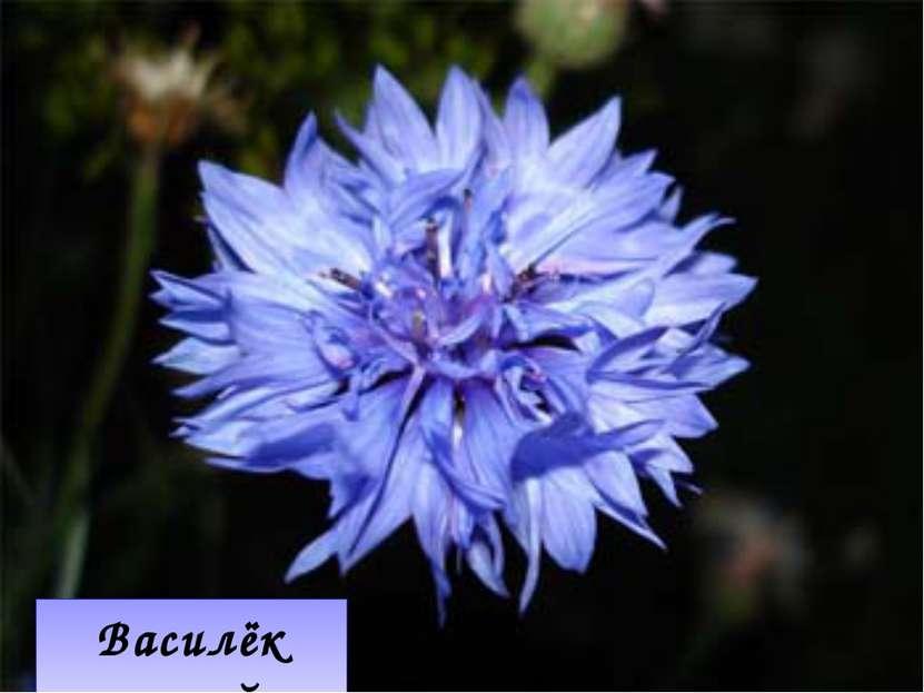 Василёк синий