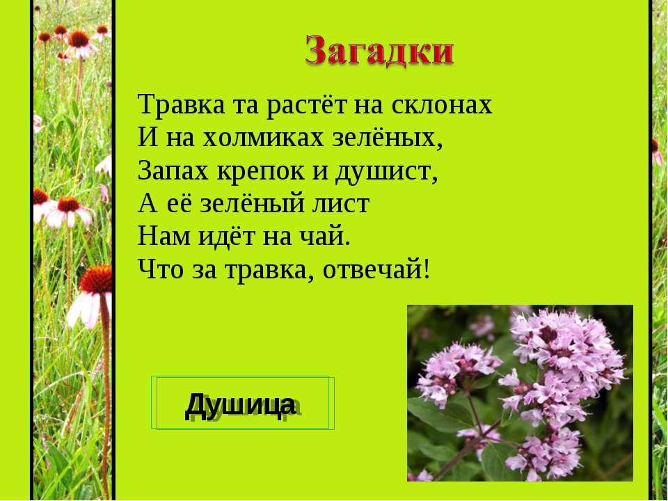 Травка та растёт на склонах И на холмиках зелёных, Запах крепок и душист, А е...