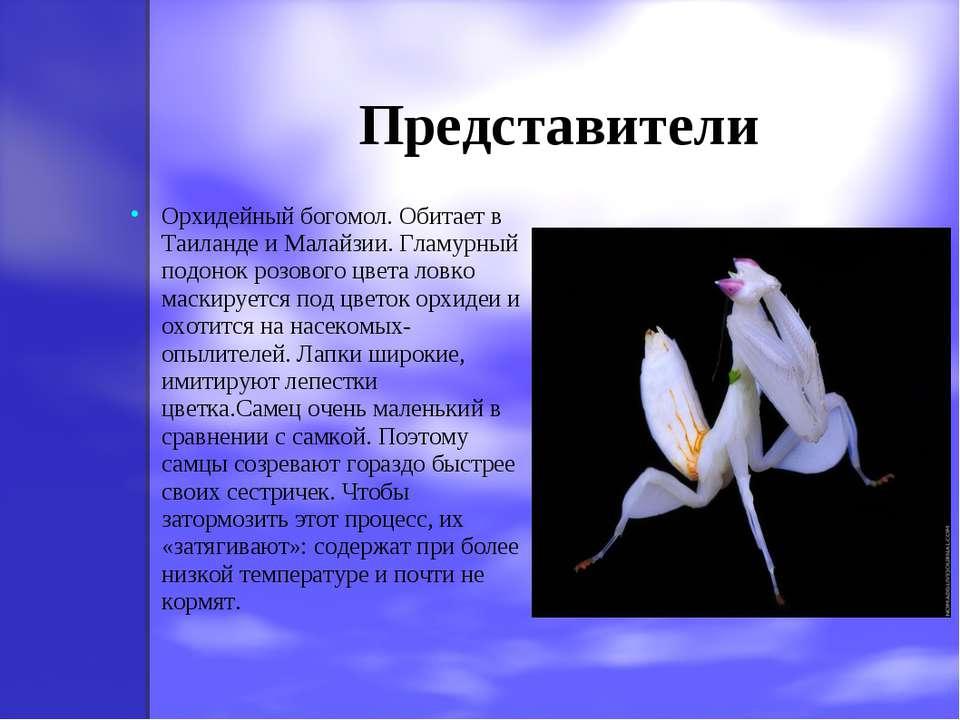 Представители Орхидейный богомол. Обитает в Таиланде и Малайзии. Гламурный по...