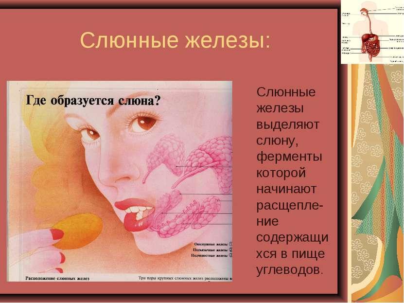 Слюнные железы: Слюнные железы выделяют слюну, ферменты которой начинают расщ...