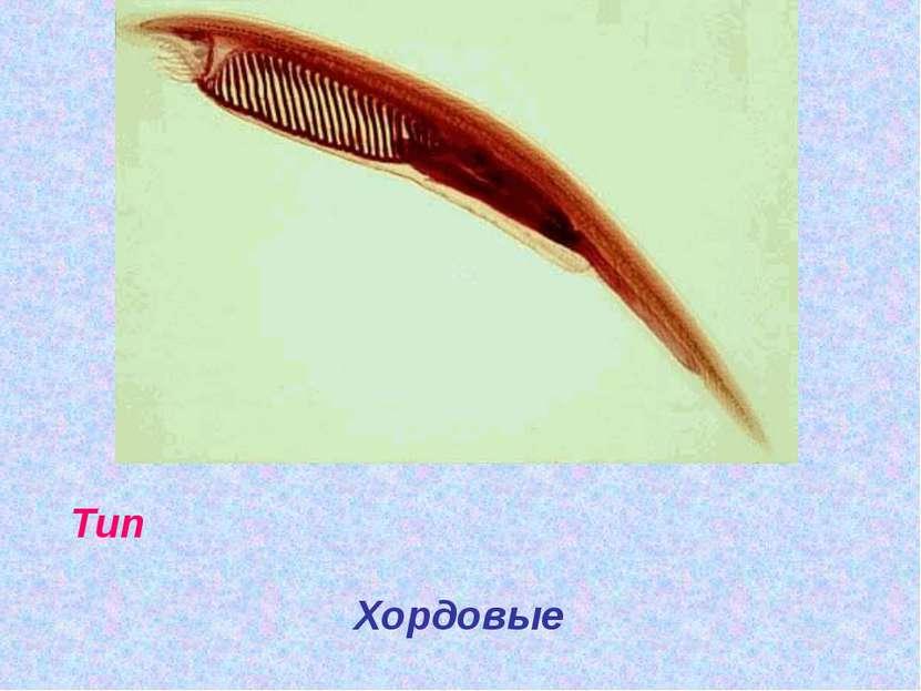 Тип Хордовые