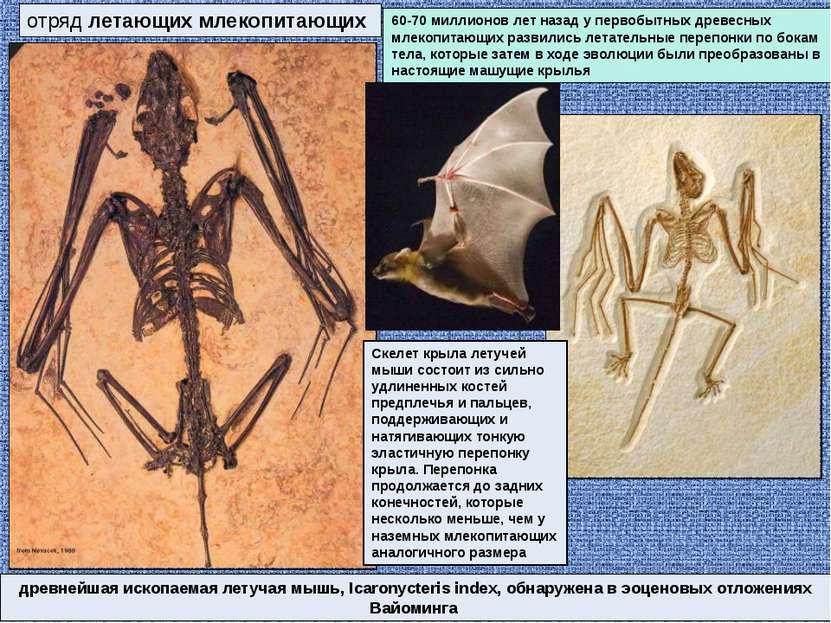 отряд летающих млекопитающих древнейшая ископаемая летучая мышь, Icaronycteri...