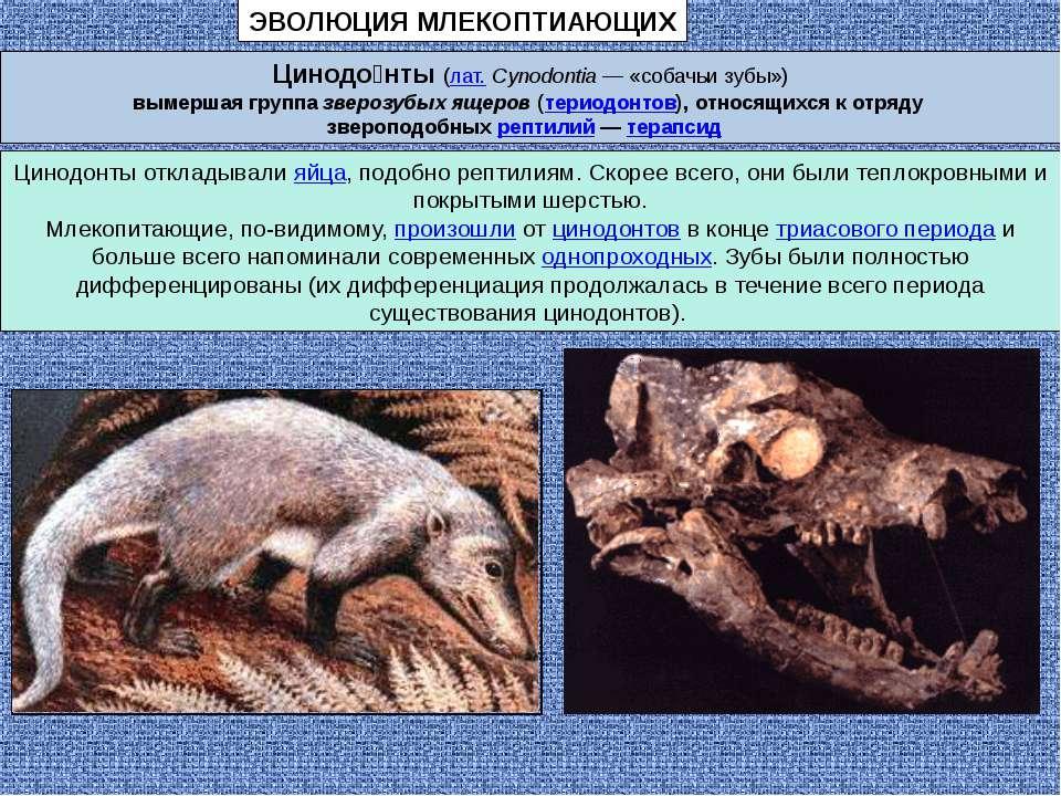 Цинодо нты (лат.Cynodontia — «собачьи зубы») вымершая группа зверозубых ящер...